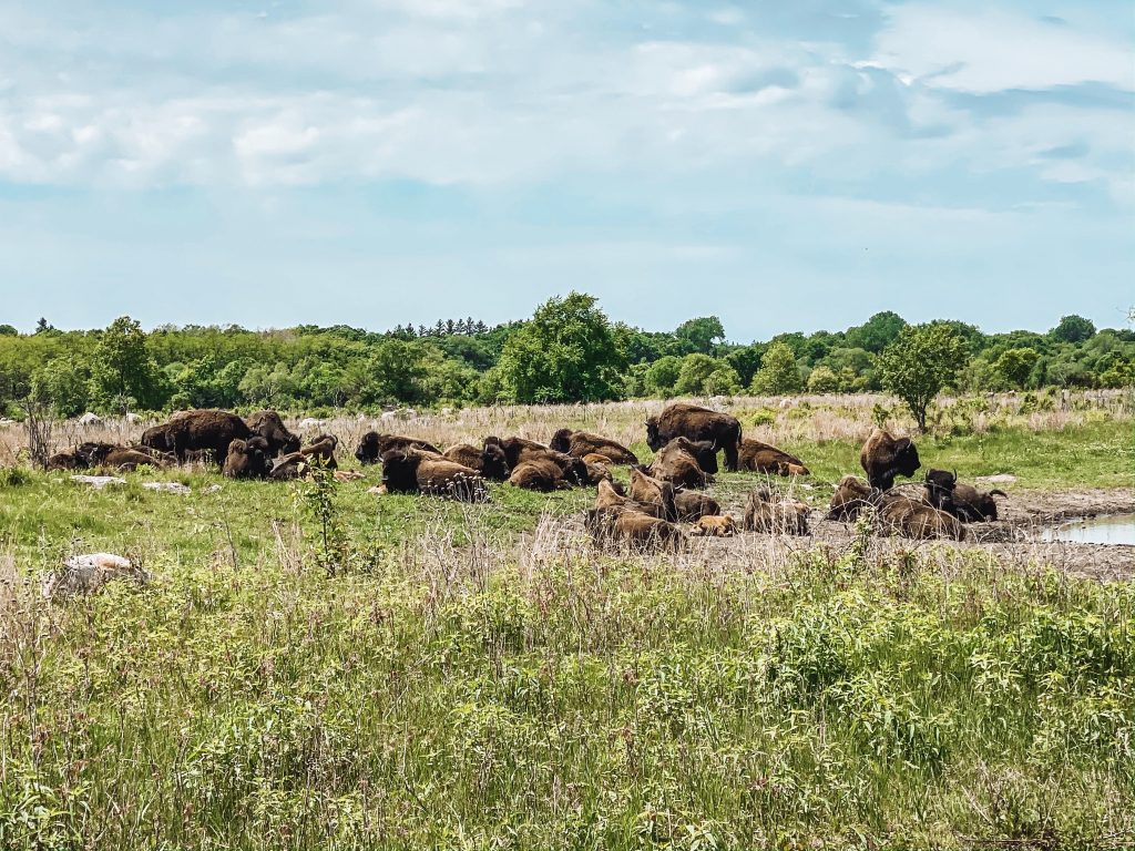 MN State Park Bison Viewing